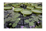 Water Lily Pond, Kew Gardens (Green House Lily Pond, England) Photographic Print by Henri Silberman