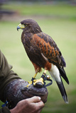 Harris Hawk Bird of Prey during Falconry Display Prints by  Veneratio