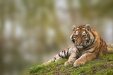 Beautiful Image of Lovely Tiger Cub Relaxing on Grassy Mound Posters by  Veneratio