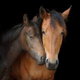 Young Horse Nuzzles into Neck of Larger Horse Impressão fotográfica por Anne Louise MacDonald