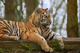 Female Tiger Tigress Laying down with Cub Behind Prints by  Veneratio
