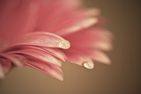 Beautiful Muted Color Gerbera Daisy Flower with Shallow Depth of Field Posters by  Veneratio