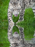 Beautiful Portrait of Snow Leopard Panthera Uncia Big Cat Reflected in Calm Water Photographic Print by  Veneratio