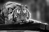 Beautiful Heartwarming Image of Tiger Laying with Head on Paws in Black and White Prints by  Veneratio