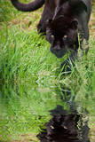 Black Jaguar Panthera Onca Prowling through Long Grass Reflected in Calm Water Photographic Print by  Veneratio