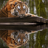 Beautiful Heartwarming Image of Tiger Laying with Head on Paws Reflection in Water Prints by  Veneratio