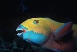 Steepheaded Parrotfish Face Photographic Print by Jeff Rotman