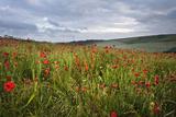 Vibrant Poppy Fields under Moody Dramatic Sky Posters by  Veneratio