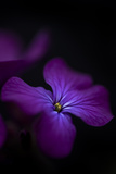 Beautiful Low Key Dramatic Image of Honesty Flower on Black Background Posters by  Veneratio