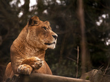 Stunning Lioness Relaxing on A Warm Day Photographic Print by  Veneratio