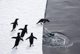 Adelie Penguins (Pygoscelis Adeliae) Leaping off Pack Ice into Sea Photographic Print by Daisy Gilardini