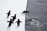 Adelie Penguins (Pygoscelis Adeliae) Leaping off Pack Ice into Sea Photographic Print by Daisy Gilardini