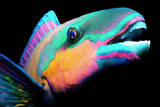 Bullethead Parrotfish (Scarus Sordidus)Night, Close-Up Photographic Print by Jeff Rotman