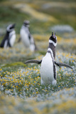 Magellanic Penguins in Patagonia, Chile Photographic Print by Edwin Remsberg