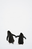 Gentoo Penguin (Pygoscelis Papua) Photographic Print by Elliott Neep