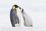 Emperor Penguin Chick and Adult. Photographic Print by Martin Ruegner