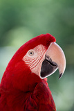 Red Macaw Parrot Stampa fotografica di Andrea & Tim photography