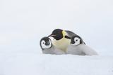 Emperor Penguin (Aptenodytes Forsteri). Photographic Print by Martin Ruegner