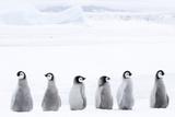 Emperor Penguin Chicks (Aptenodytes Forsteri) Reprodukcja zdjęcia autor Daisy Gilardini