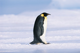 Emperor Penguin (Aptenodytes Forsteri) Photographic Print by David Tipling