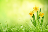 Daffodil Flowers on Spring Background Photographic Print by Liang Zhang