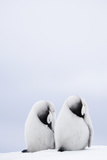 Two Emperor Penguin Chicks (Aptenodytes Forsteri) Resting Photographic Print by Daisy Gilardini
