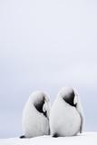 Two Emperor Penguin Chicks (Aptenodytes Forsteri) Resting Photographic Print by Daisy Gilardini