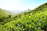 Tea Plantations Photographic Print by Liang Zhang