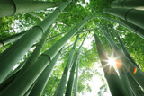 Bamboo Forest in the Morning Photographic Print by Liang Zhang