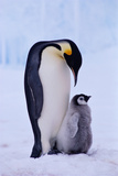 EMPEROR PENGUIN ADULT WITH CHICK Photographic Print by Kevin Schafer
