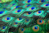 Colorful Peacock Feathers,Shallow Dof. Photographic Print by Liang Zhang