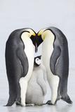 Emperor Penguins with Chick (Aptenodytes Forsteri), Side View Reprodukcja zdjęcia autor Daisy Gilardini