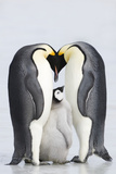 Emperor Penguins with Chick (Aptenodytes Forsteri), Side View Photographic Print by Daisy Gilardini
