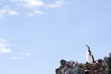 Chinstrap Penguin Vocalizing Photographic Print by Daisy Gilardini