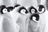 Emperor Penguin Chicks (Aptenodytes Forsteri), Close-Up Reproduction photographique par Daisy Gilardini