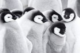 Emperor Penguin Chicks (Aptenodytes Forsteri), Close-Up Photographic Print by Daisy Gilardini