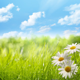 Natural Background with Daisy Flower on Grass Photographic Print by Liang Zhang