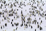 Emperor Penguin Colony (Aptenodytes Forsteri) Photographic Print by Art Wolfe