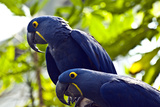 Blue Macaws Stampa fotografica di Ray Sandusky / Brentwood, TN