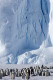 Emperor Penguin (Aptenodytes Forsteri) Rookery Photographic Print by Daisy Gilardini
