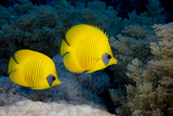 Pair of Blue Cheek Butterflyfish, Red Sea Photographic Print by Stephen Frink