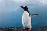 Gentoo Penguin in Antarctica Photographic Print by David Tipling