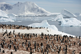 Gentoo Penguins on Cuverville Island Photographic Print by  Keenpress