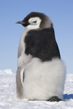 Emperor Penguin Chick Moulting Photographic Print by Daisy Gilardini