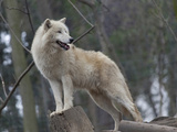 White Arctic Wolf Photo by  egal