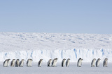 Emperor Penguin Chicks Moulting Going at Sea Photographic Print by Daisy Gilardini
