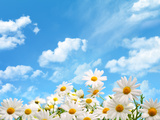 Field of Daisy Flowers against Blue Sky Photographic Print by Liang Zhang
