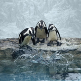 Penguins Photographic Print by Fotografias de Rodolfo Velasco
