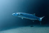 Great Barracuda Photographic Print by Lea Lee