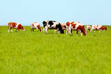 Cows Grazing on Pasture Photographic Print by Liang Zhang